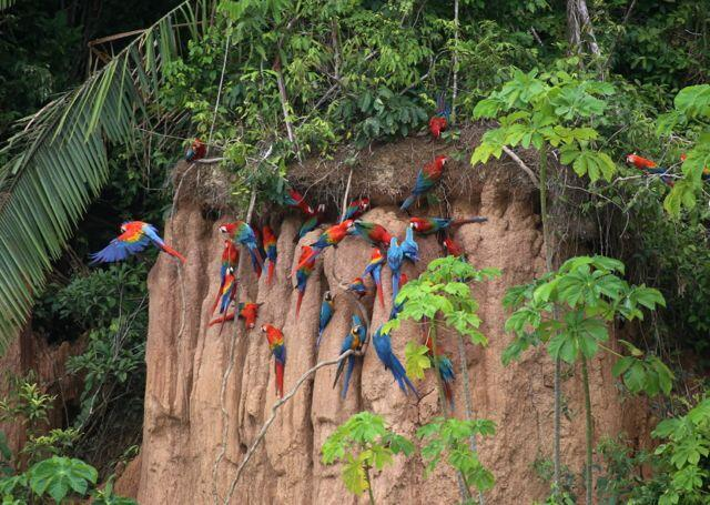 Macaws in the wild, copyright Phil Torres