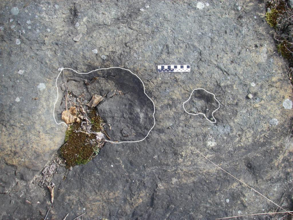 Amblydactylus gethingi. We often find both the footprint (large) and the handprint (small) preserved together in the trackways, telling us they were walking quadrupedal. 10 cm scale.